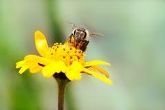 Macro photographie de nectar potable d'abeille de miel de pollinisateur de fleur sauvage jaune avec la buse avançant à la fleur photo libre de droits
