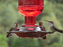 Macro photographie de trois colibris images stock