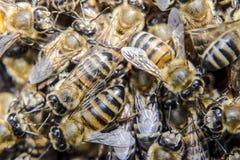 Macro photographie des abeilles Danse de l'abeille de miel Abeilles dans une ruche d'abeille sur des nids d'abeilles Photographie stock