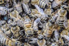 Macro photographie des abeilles Danse de l'abeille de miel Abeilles dans une ruche d'abeille sur des nids d'abeilles Images stock