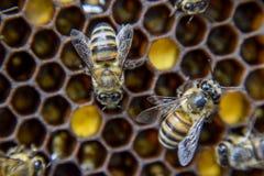 Macro photographie des abeilles Danse de l'abeille de miel Abeilles dans une ruche d'abeille sur des nids d'abeilles Photos stock