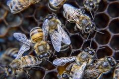 Macro photographie des abeilles Danse de l'abeille de miel Abeilles dans une ruche d'abeille sur des nids d'abeilles Photographie stock libre de droits
