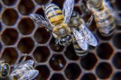 Macro photographie des abeilles Danse de l'abeille de miel Abeilles dans une ruche d'abeille sur des nids d'abeilles Photo stock