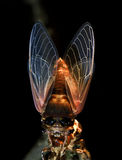 Macro photography—cicada. This is a photo of a newly born cicada which just came out of earth.The photo was taken at night Royalty Free Stock Photos