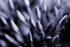 Macro photography. A black and white version of unriped flowers Stock Photos