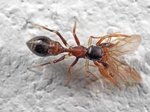 Macro Photo of Ant Mimic Jumping Spider Biting on Prey on White. Macro Photography of Ant Mimic Jumping Spider Biting on Prey on White Floor royalty free stock photography