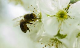 Bee in springtime Stock Image