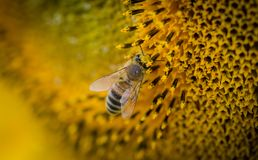 Macro Photography of a Bee royalty free stock photos