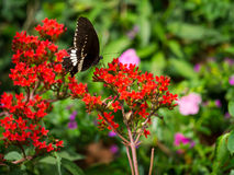 The macro photography of big black butterfly eating the flower`s Royalty Free Stock Images