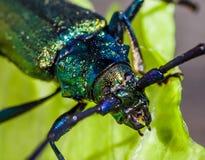 Big musk beetle. Macro photography of big colorful bug on green leaf. Musk beetle Stock Photos