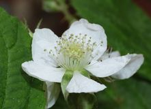 Blackberry Flower - Close up. Macro photography of a blackberry flower taken mid summer UK royalty free stock images