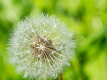 A Macro photography of blooming round Taraxacum is a large genus of flowering plants in the family Asteraceae. A Macro photography of blooming round Taraxacum stock images
