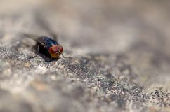 Macro photography of a blue fly on a rock from the top stock photo