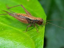 Macro Photo of Brown Grasshopper on Green Leaf Royalty Free Stock Images