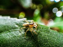 Macro Photography of Brown Jumping Spider on Green Leaf stock photo