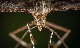 Macro Photography of Brown Plume Moth Stock Photography