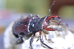 Macro photography of bug. Cuckold in nature environment stock image