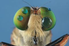 Robber flies asilisade asilus crabroniformis royalty free stock photos