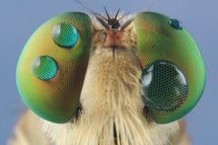 Robber flies asilisade asilus crabroniformis stock image