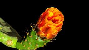 Macro Photography, Close Up, Orange, Bud royalty free stock photo