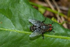 Macro photography with a common fly resting on a leaf. Macro photography with a fly resting on a leaf with blured background Stock Image