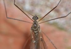 Crane Fly Close Up - daddy long legs. Macro photography of crane fly daddy long legs close up shot, picture taken in the UK stock photo