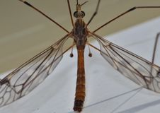 Crane Fly Close Up - daddy long legs. Macro photography of crane fly daddy long legs close up shot, picture taken in the UK stock images