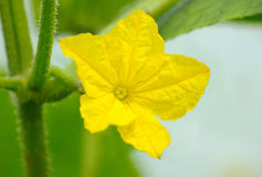 Macro photography of cucumber's flower Royalty Free Stock Photo