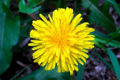 Dandelion flower from the top stock photography