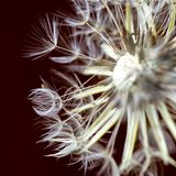 Dandelion seed head and pappus. Macro photography of a dandelion seed head and pappus. Captured at the Andean mountains of central Colombia stock image