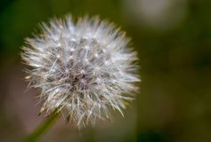 Macro photography of a dandelion seed puff royalty free stock images