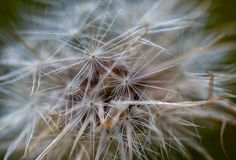 Macro photography of a dandelion seeds stock images