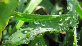 Macro photography. Drops of water in the grass at dawn. A beautiful microcosm shot at sunrise is very beautiful royalty free stock photo