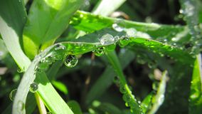 Macro photography. Drops of water in the grass at dawn. A beautiful microcosm shot at sunrise is very beautiful stock photography