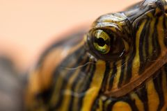 Macro photography of the eyes of a Brazilian aquatic tortoise Tigre D`água - Beautiful green eyes and attentive stock images