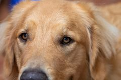 Macro photography of the eyes of a golden retriever attentive and happy dog royalty free stock images