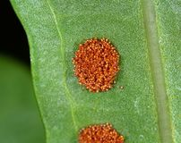 Macro Photo of Fern Spores on Leaves royalty free stock photography