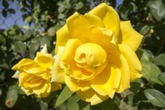 Macro photography of flowers. Of a yellow color Royalty Free Stock Photography