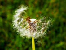 Macro photography of fluffy dandelion Stock Images