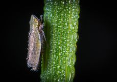 Macro Photography of Froghopper On Leaf Stock Photo