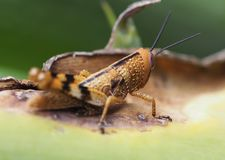 Macro Photography of Grasshopper stock photos
