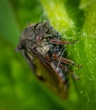 Macro Photography of Gray and Brown Tree Hopper on Green Leaf stock photography