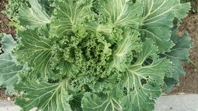 Macro photography of green decorative cabbage stock image