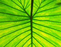 Macro photography of green leaf Royalty Free Stock Photo
