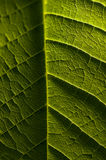Macro photography of green leaf, organic green leaf texture Royalty Free Stock Photo