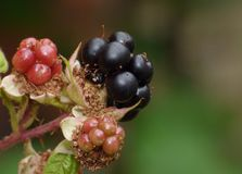 Macro photography of picking blackberries during main harvest season late summer with basket full of blackberries, close up. Macro photography of hand picking royalty free stock images