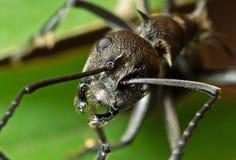 Macro Photo of Head of Golden Weaver Ant on Green Leaf. Macro Photography of Head of Golden Weaver Ant on Green Leaf stock photography