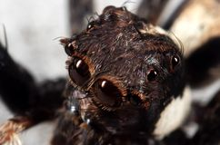 Macro Photo of Head of Jumping Spider on The Floor. Macro Photography of Head of Jumping Spider on The Floor royalty free stock photo