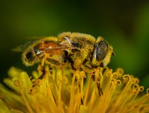 Macro Photography of Honey Bee on Petaled Flower stock images