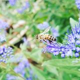 Macro Photography of Honeybee Perched on Blue Petaled Flower royalty free stock photography